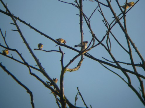 closer view of the finch flock through binoculars