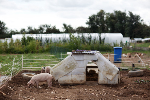 Happy pigs! photo credit Jonathan Cherry
