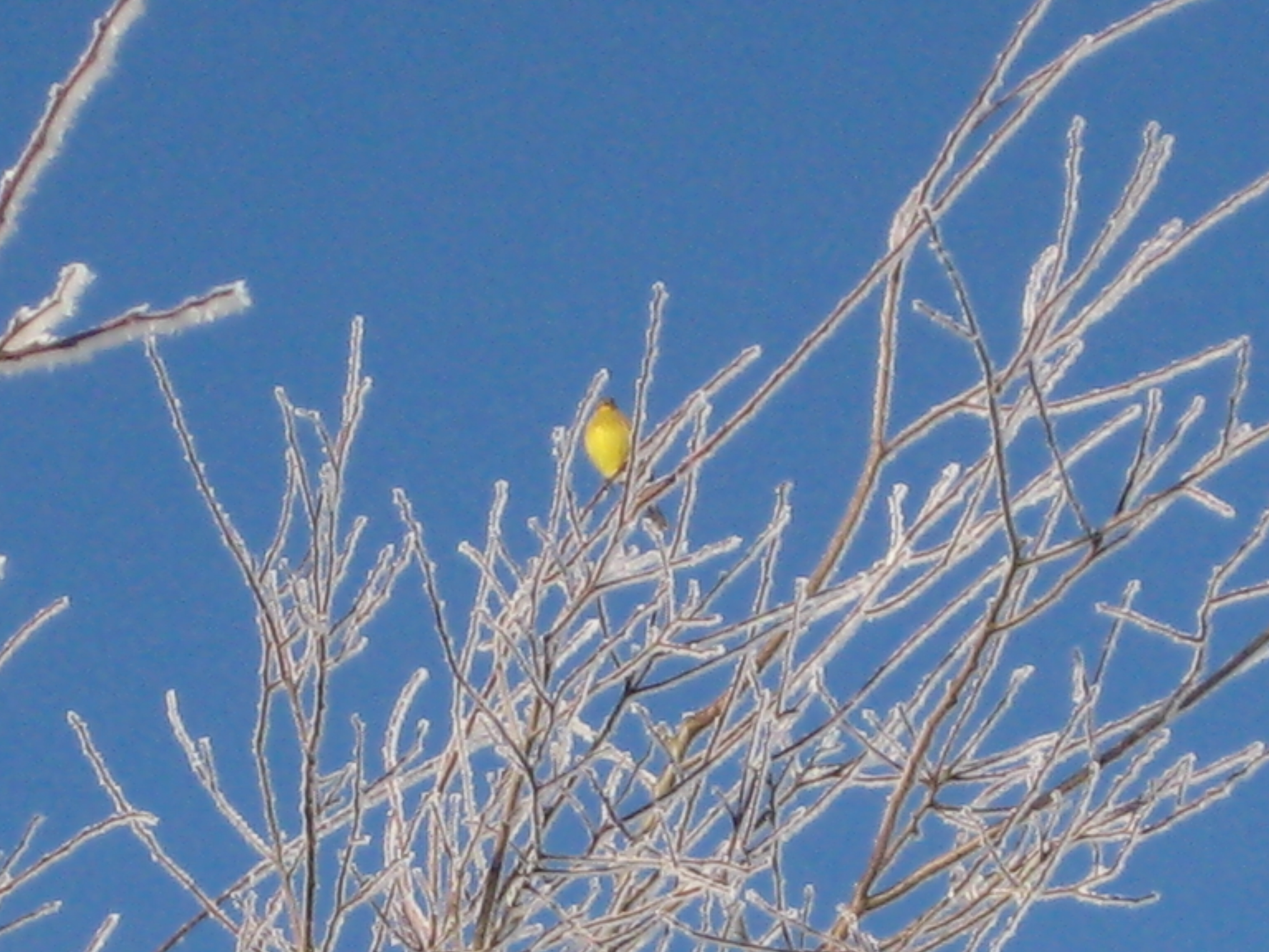 Yellowhammer in a frosty tree