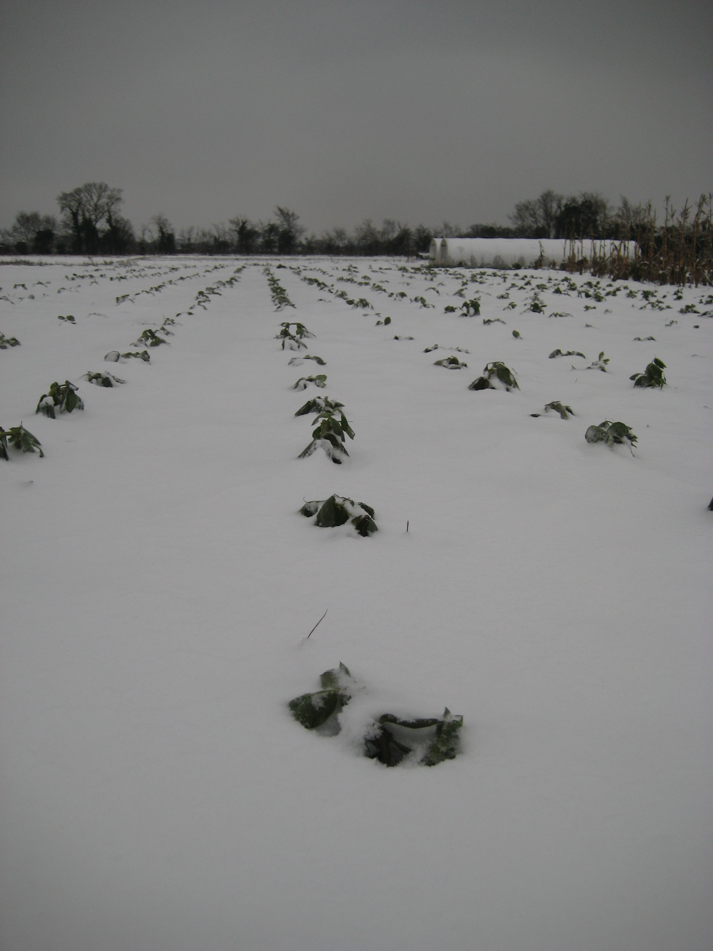 Broad beans buried in snow