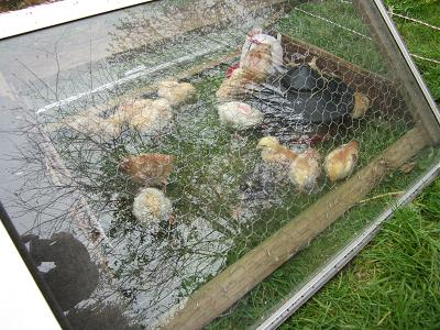 Our baby chicks enjoying the sunshine.