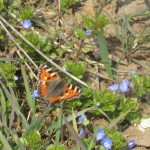 Small tortoiseshell