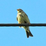 Corn bunting - once a common farmland bird