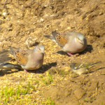 Turtle doves - now a rare sight in the UK.