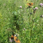 Small tortoiseshells enjoying the thistles