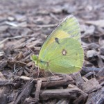 Clouded yellow butterfly - an exotic migrant from the continent!