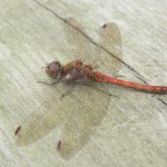 Common darters were on the wing right up to the end of October.