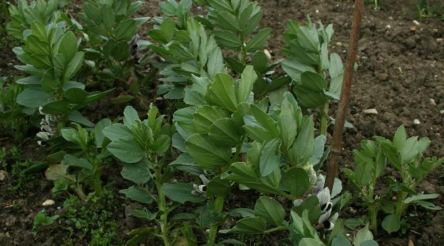 Broad Beans: a fanastic spring & early summer crop