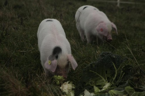 Pigs enjoying vitamin rich brassica leaves!