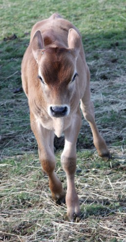 One of the future Oak Tree Calves...