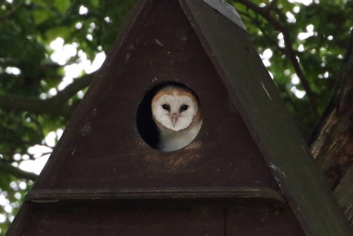 The Oak Tree Low Carbon Farm has become a Haven for Wildlife: This female Barn Owl raised a brood of three owlets on the farm this year.