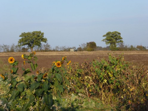 Sunflowers attracting the goldfinches