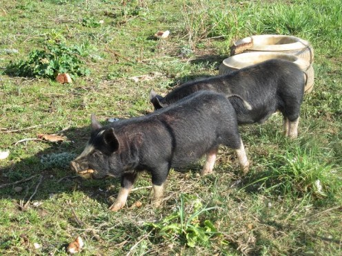 Our Berkshire Piglets!