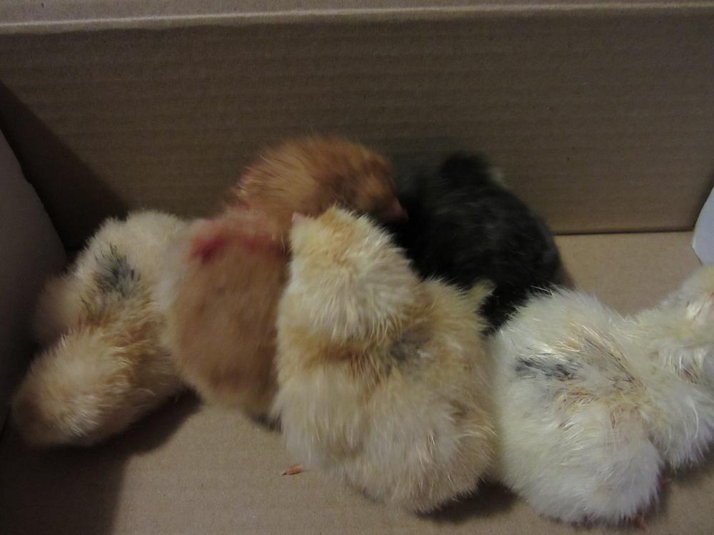 chicks 001 sm