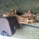 Wren nest on CSA shed