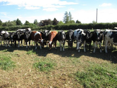 These cattle sequester carbon in the soil: Regenerative agriculture in action