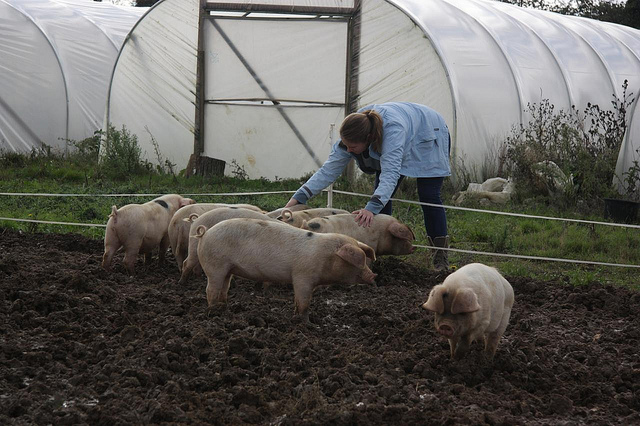 The pigs enjoying a reassuring back scratch after the stormy night!