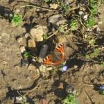 Small tortoiseshell soaking up the late winter sun