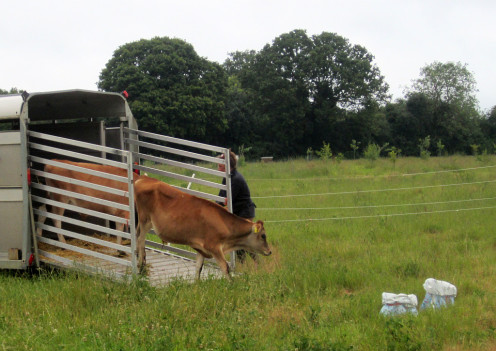 Cows arriving at the Oak Tree Farm