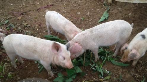The Oak Tree pigs ejoying a comfrey breakfast!