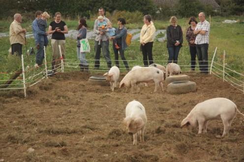 Admiring The Oak Tree Pigs