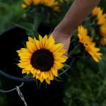A beautiful naturally grown sunflower!