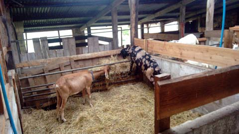 And last but not least, goats from the sister farm, Chagfarm.
