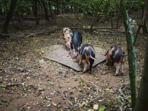 The Landews Meadow Farm pigs enjoy a woodland home, with just a single electric fence wire to keep them in!