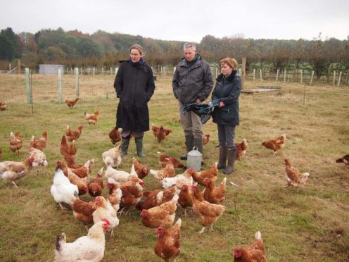 Happy, healthy chickens that follow a few days after the cows a la Polyface Farm