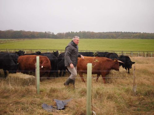 The Landews Meadow Farm cattle are mob grazed to improve the soil, moved regularly onto fairly small areas to mimic the movement of a natural herd of ruminants.